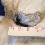 14-226-2 Dorset Horn sheepskin, shows tear, $110