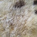 14-138-2 Jacob sheepskin, closeup $140