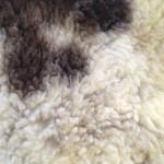 14-559-2 Jacob sheepskin closeup $95