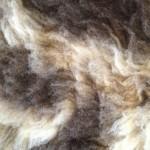 14-559-3 Jacob sheepskin closeup $ 75
