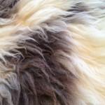 14-582-2 Jacob sheepskin closeup $175