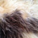 14-582-1 Jacob Sheepskin closeup $175